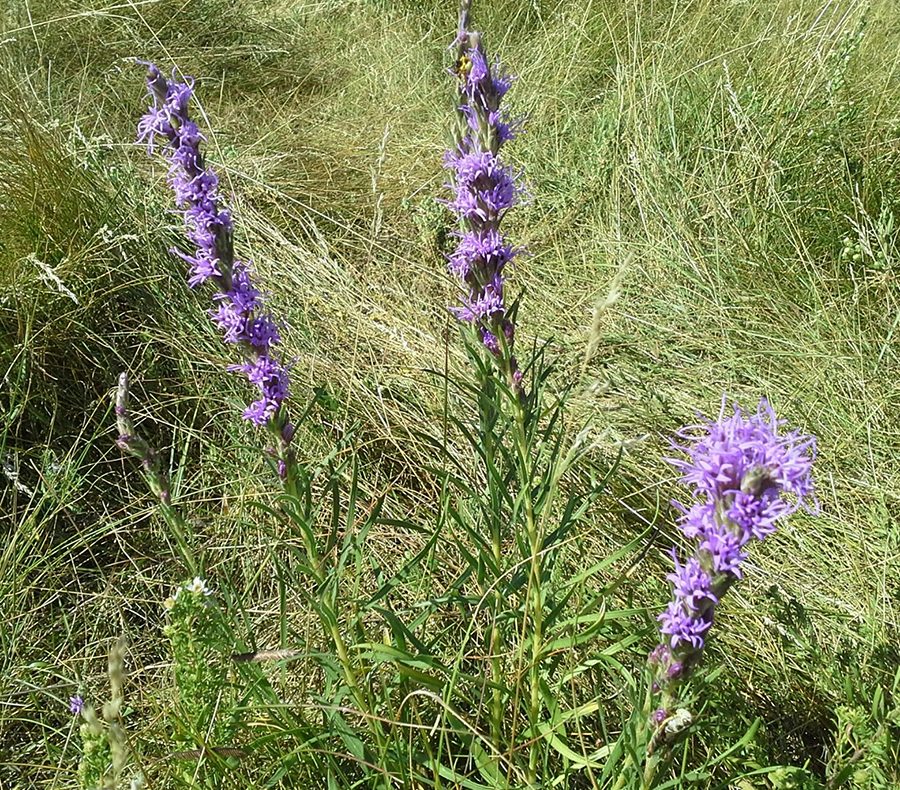 Native Prairie Plants: Sons Of Jacob Cemetery